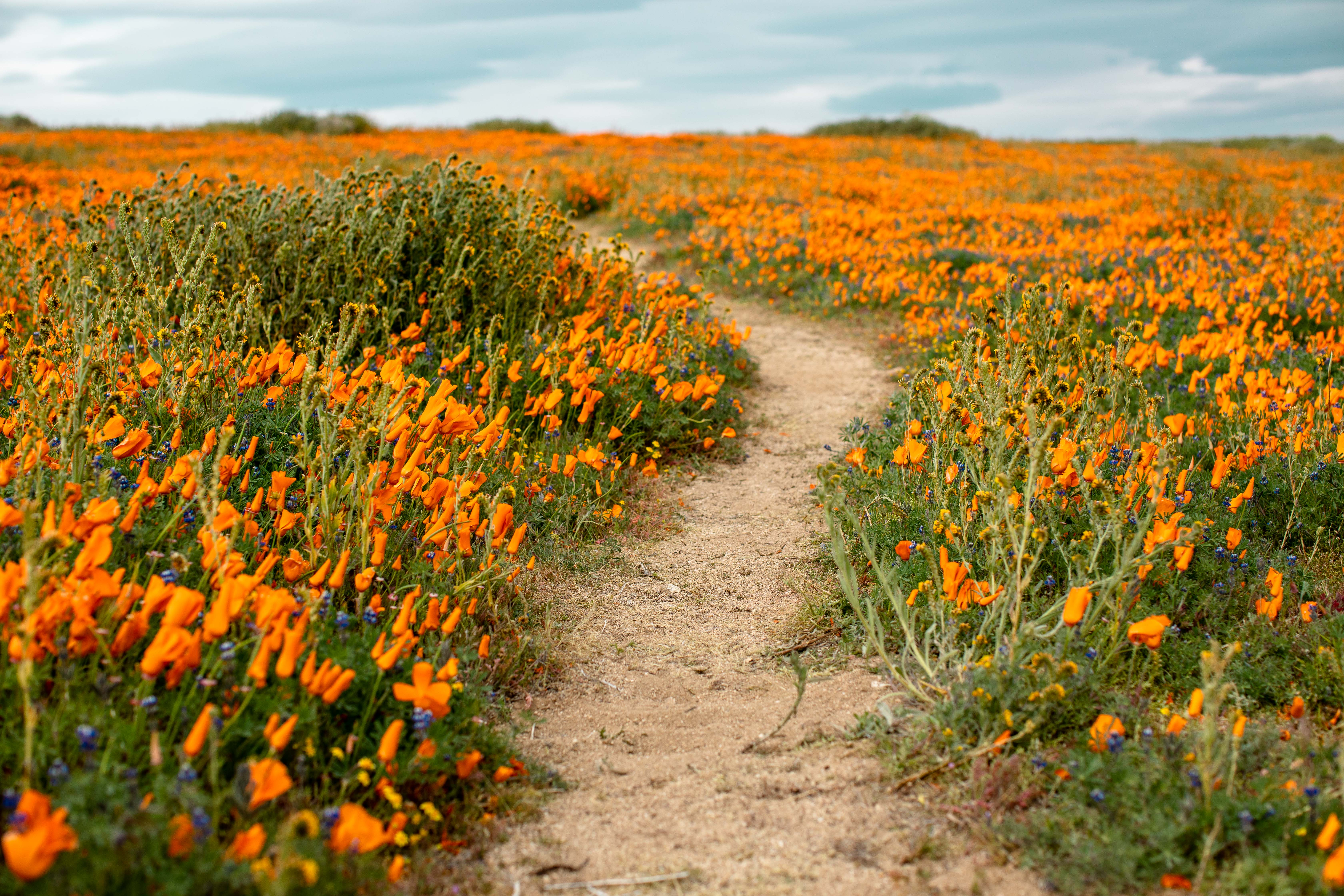 Super Bloom at Antelope Valley California Poppy Reserve